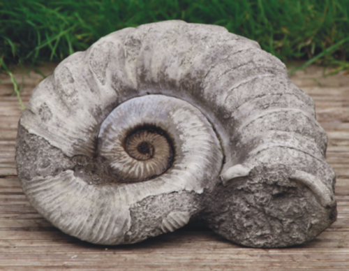Large Ammonite
